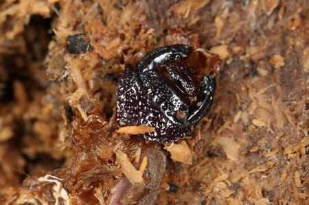 カブトムシ幼虫頭殻0630_1.JPG