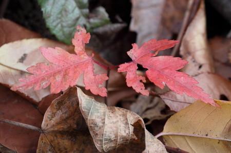 小さな紅葉1127_1.JPG