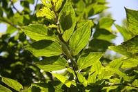 樹上のハラビロカマキリ.JPG