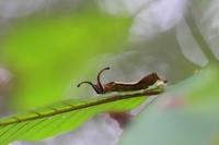 スミナガシ幼虫2-09.25.JPG