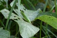 クビキリギス緑色型.JPG